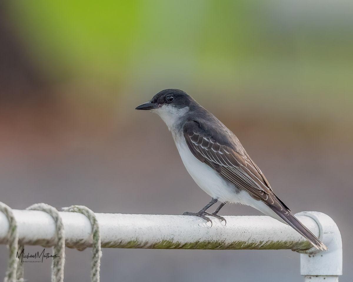 EasternKingbird052321-1