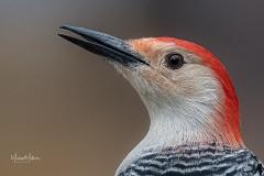 Red-belliedWoodpecker-2-112420e-1-of-1